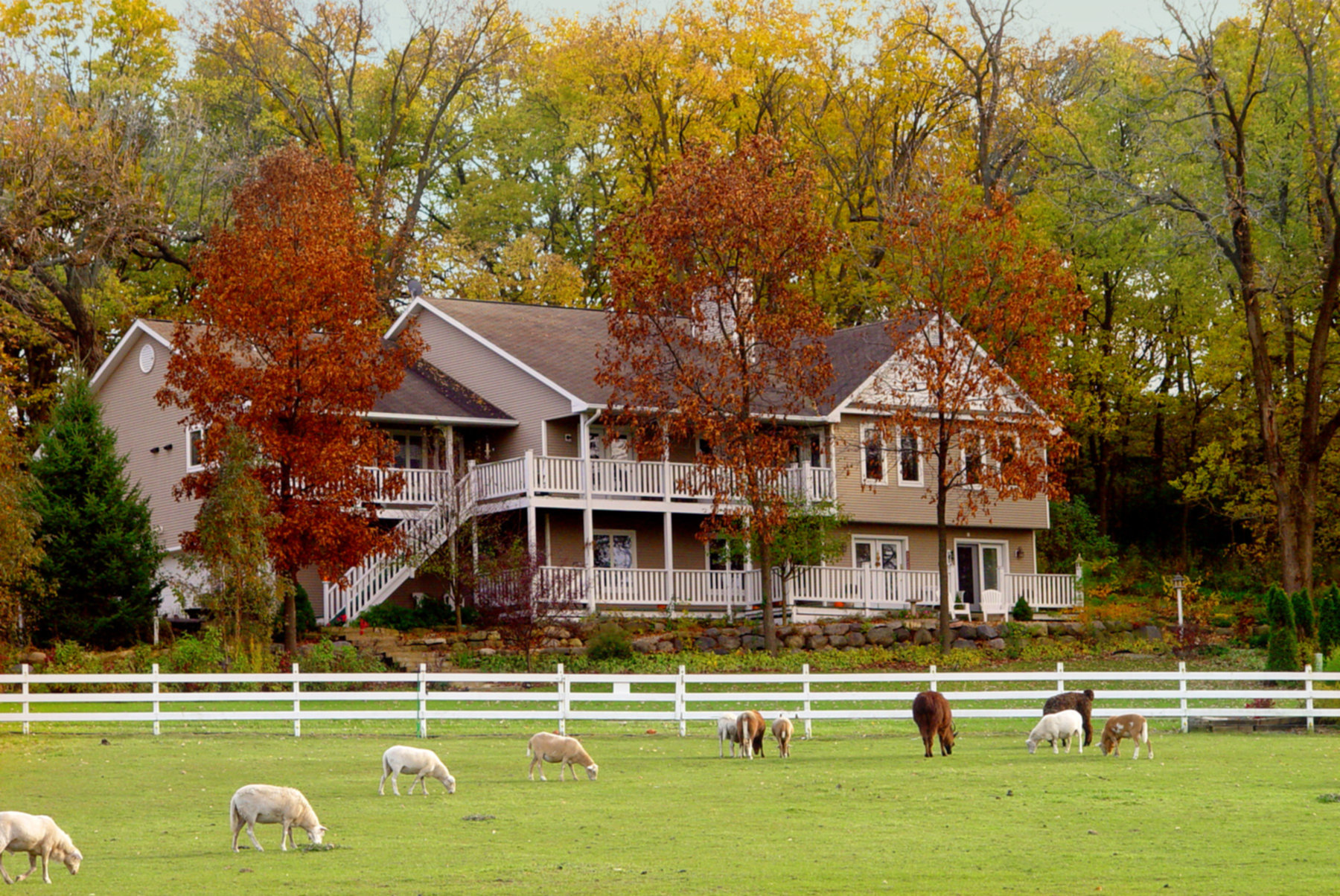 A herd of sheep grazing in front of a house at The Speckled Hen Inn Bed and Breakfast.
