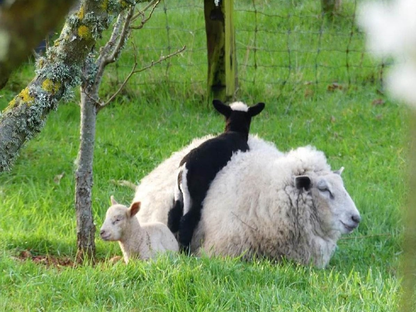 A mother and baby sheep standing on top of a grass covered field at Le Clos de CanaPlaye.