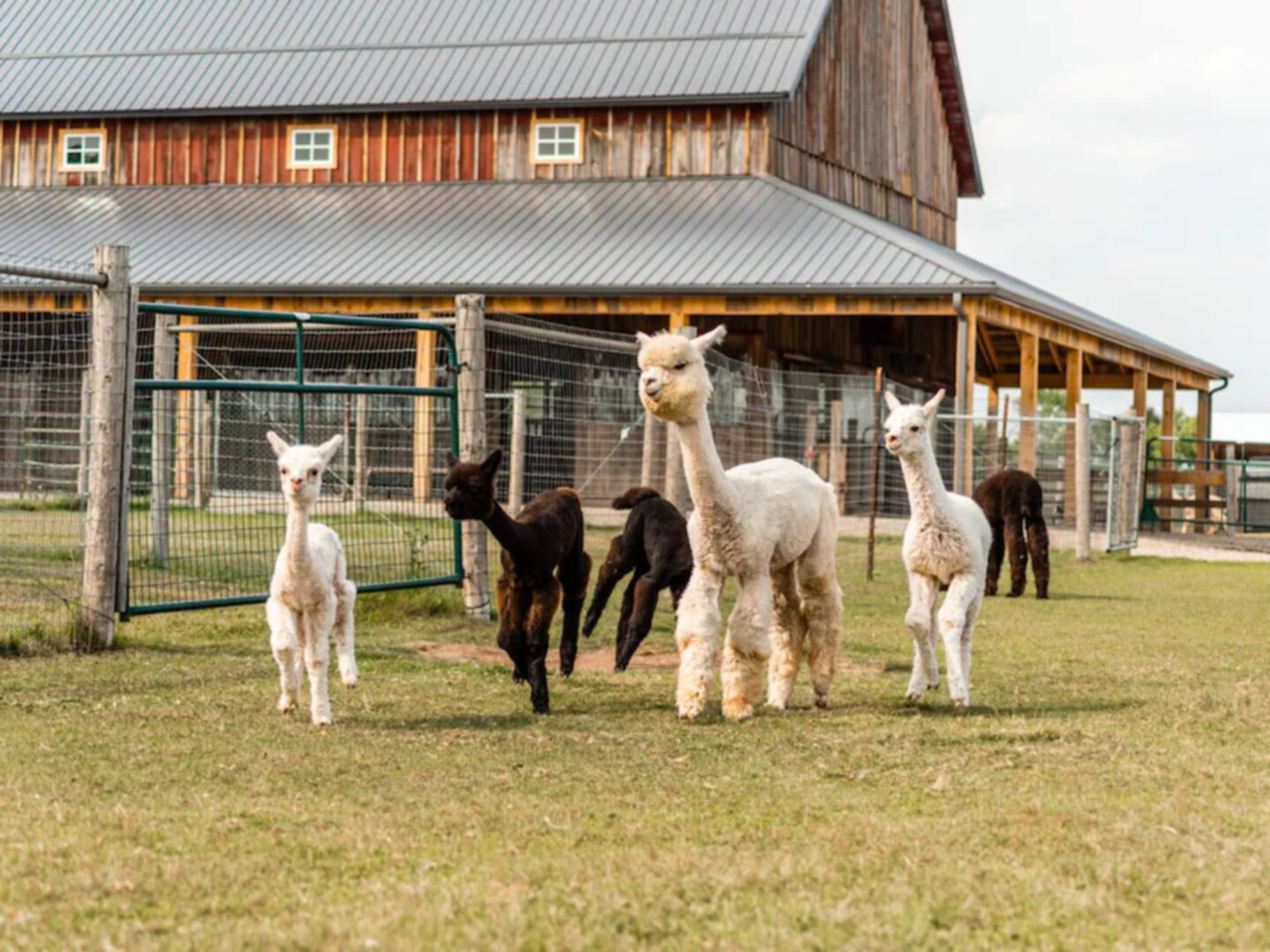 A group of sheep that are standing in front of a building at Sabamba Alpaca Ranch Bed and Breakfast.